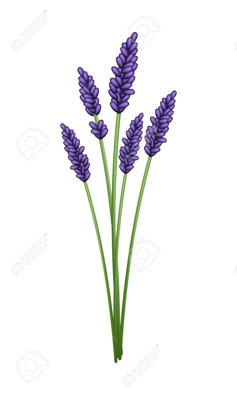 bunch of beautiful purple lavender flowers isolated on a transparent rh 123rf com Yardley English Lavender Original by Yardley English Lavender