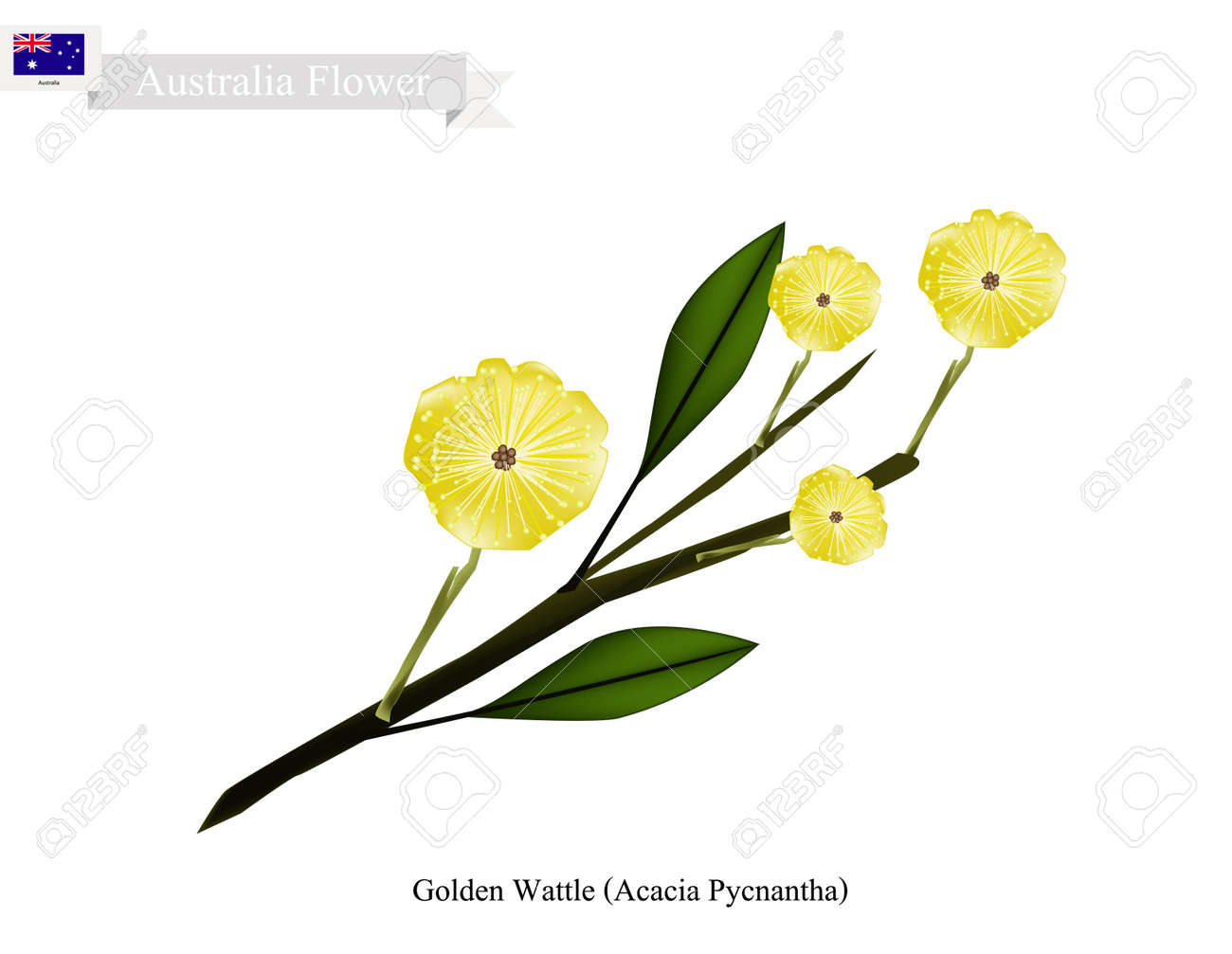 Australia Flower Illustration Of Golden Wattle Flowers Or Acacia