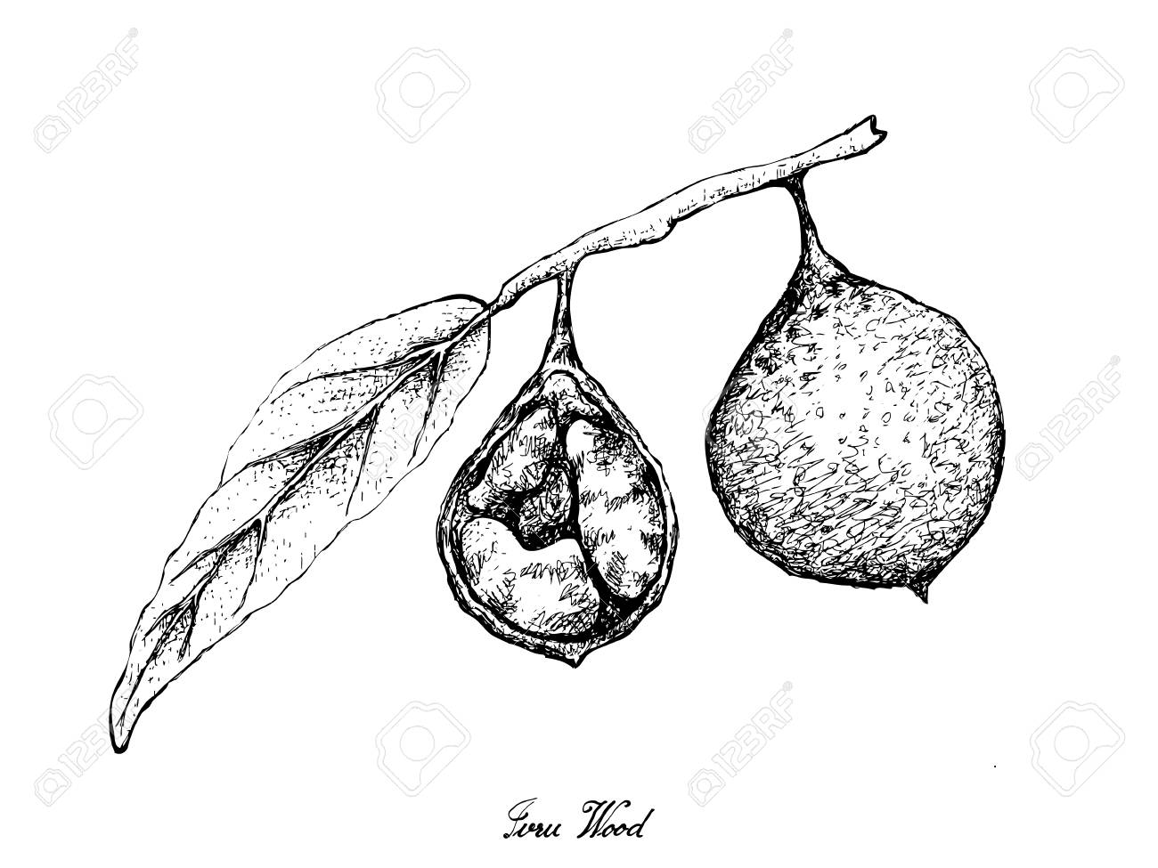 Tropical Fruits, Illustration of Hand Drawn Sketch Fresh Ivru Wood or Siphonodon Celastrineus Fruits Isolated on White Background. - 127290018