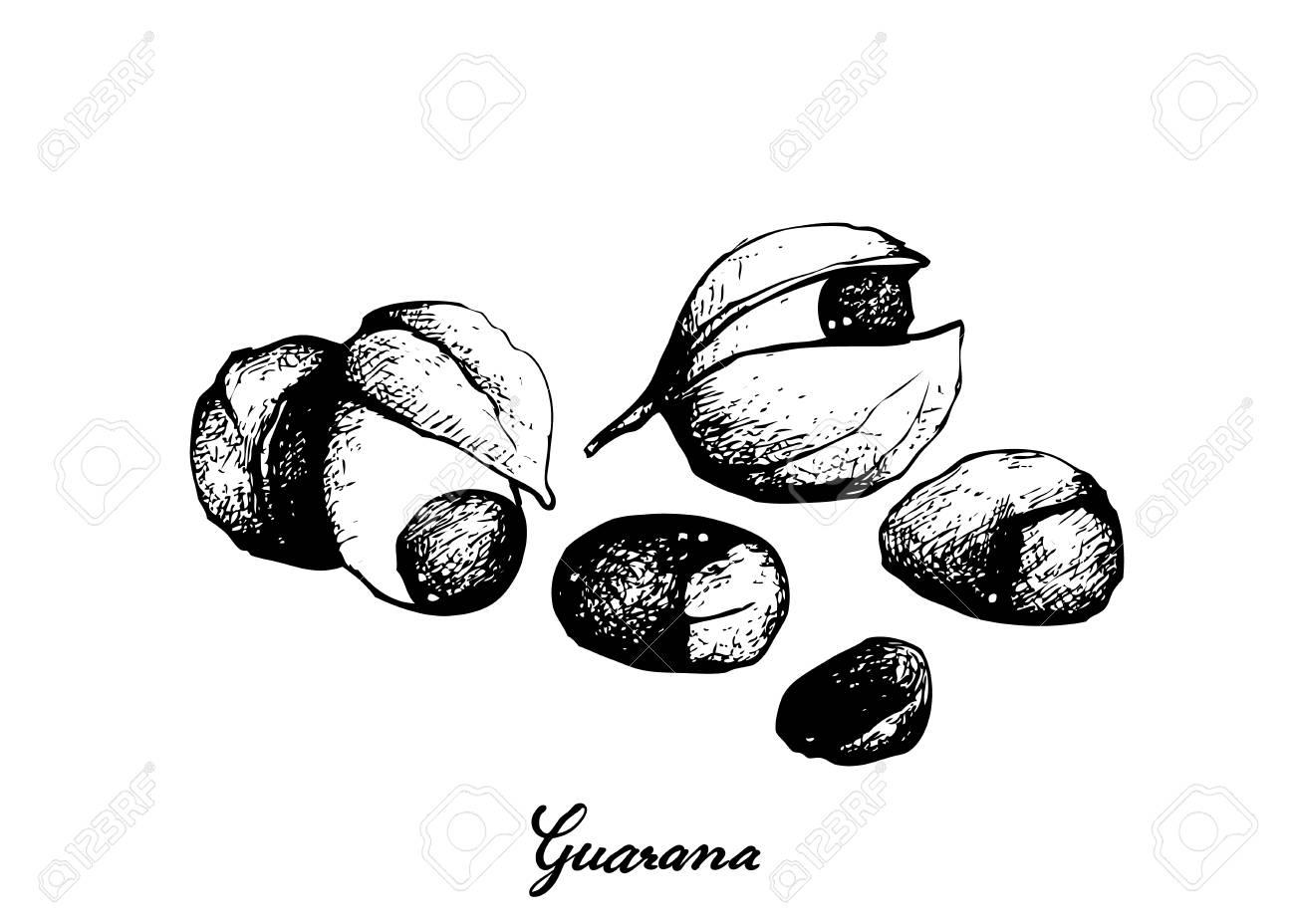 Vegetable, Illustration of Red Guarana or Paullinia Cupana Fruits Isolated on White Background. - 126722708
