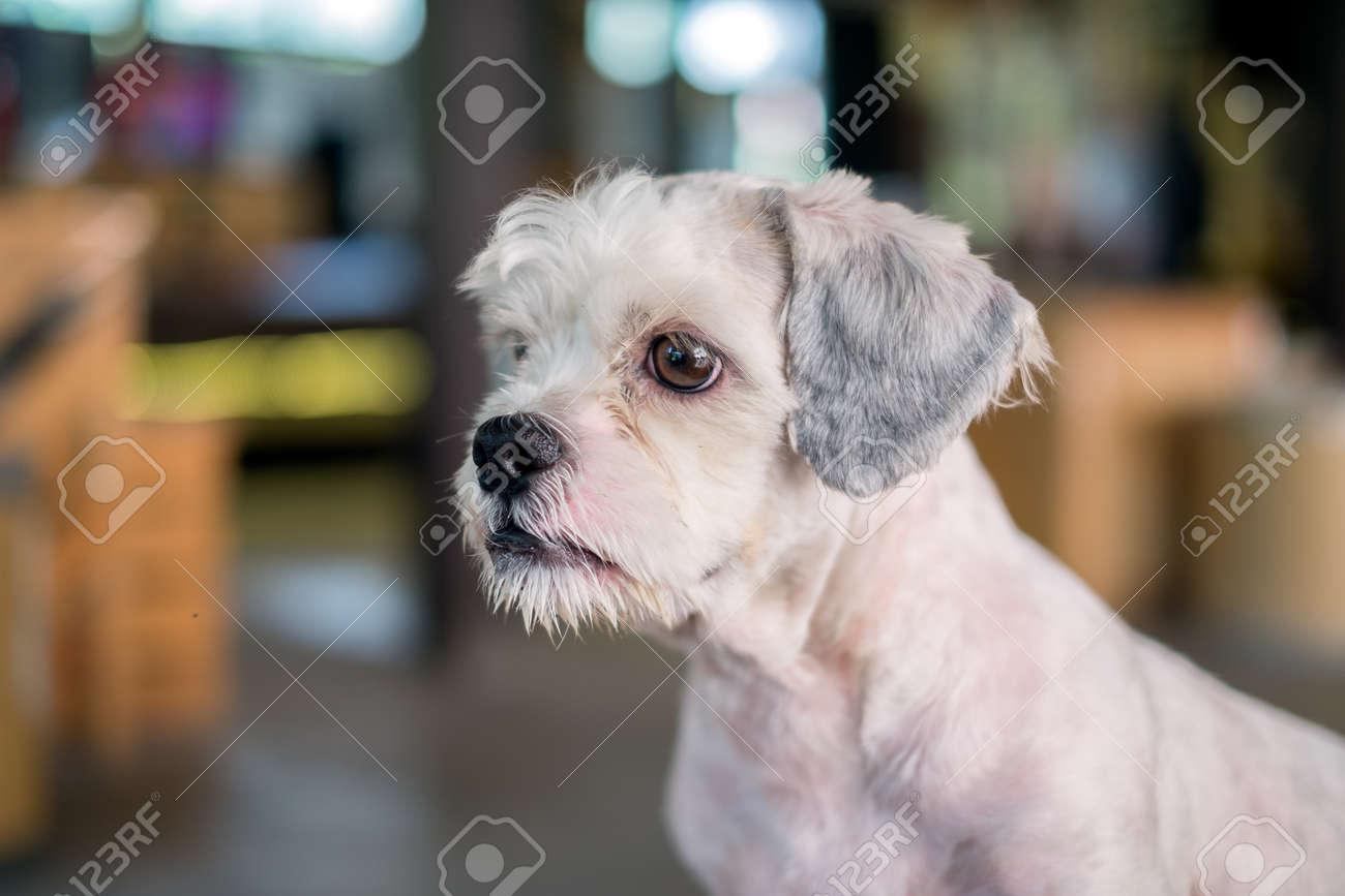 Short Hair White Shih Tzu Dog Gaze At Something With Blurred Stock