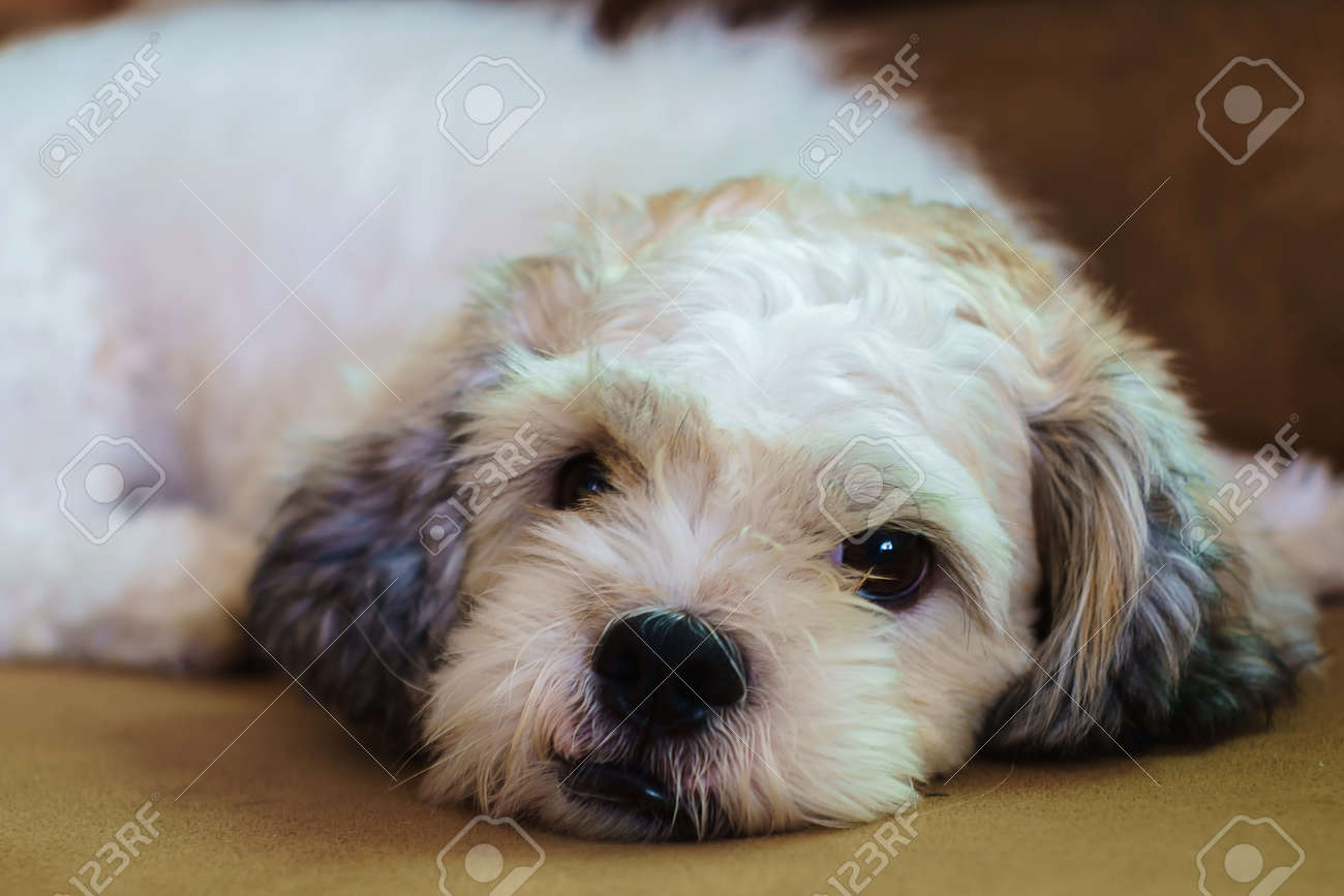 Short Hair White Shih Tzu Dog Sleeping On Sofa Stock Photo Picture