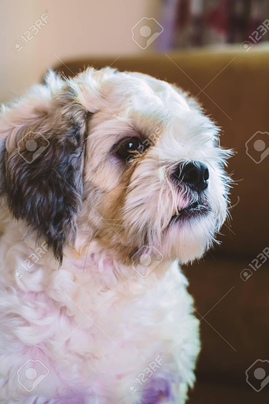 Short Hair White Shih Tzu Dog Looking For Something Stock Photo