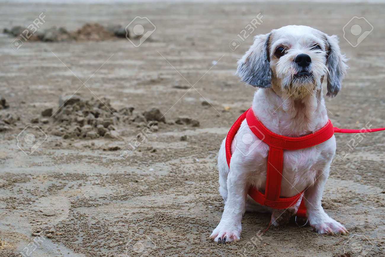 White Short Hair Shih Tzu Dog Sitting On The Beach Stock Photo