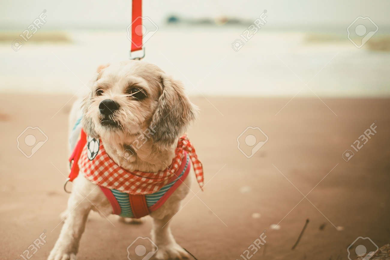 White Short Hair Shih Tzu Dog With Cutely Clothes And The Red Stock Photo Picture And Royalty Free Image Image 92882243