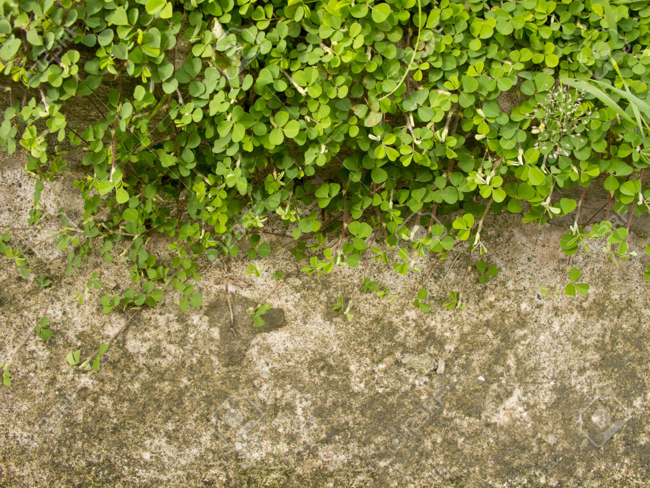 Wood sorrel or Oxalis acetosella L  on concrete floor with space Stock Photo - 15091966