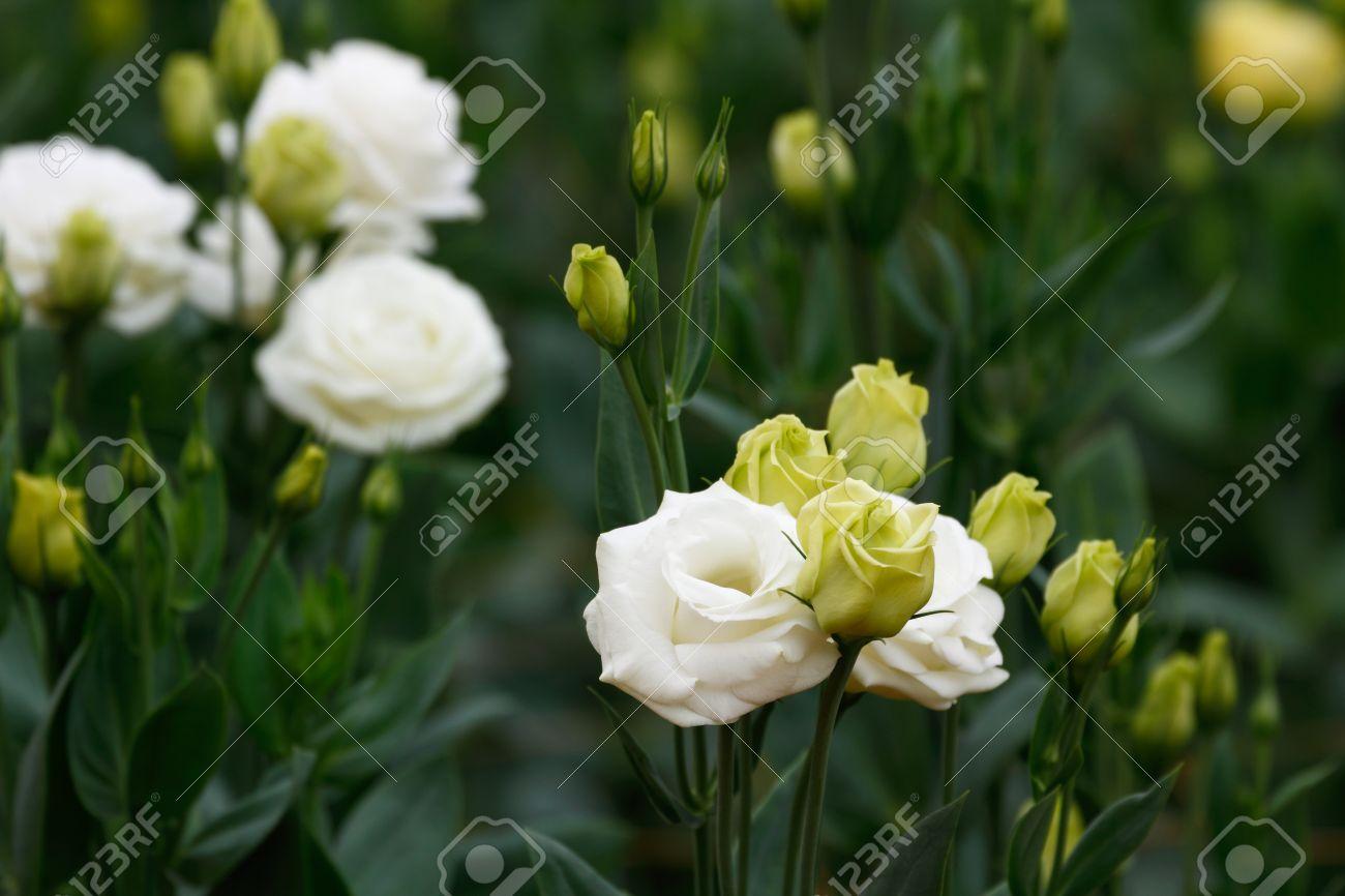 Fleurs Lisianthus Eustoma White Rose La Plante Qui Ressemble A