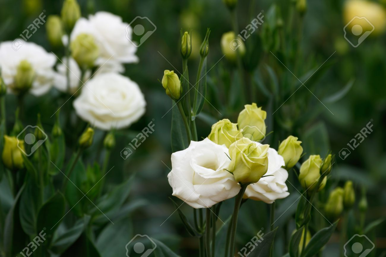 Lisianthus Eustoma Flowers White Rose The Plant That Look