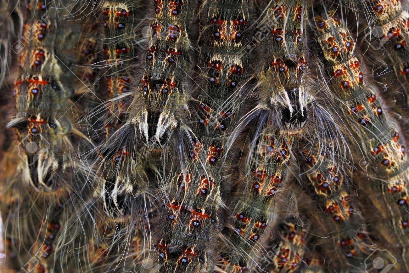 Close up group of hairy caterpillar Stock Photo - 87745532