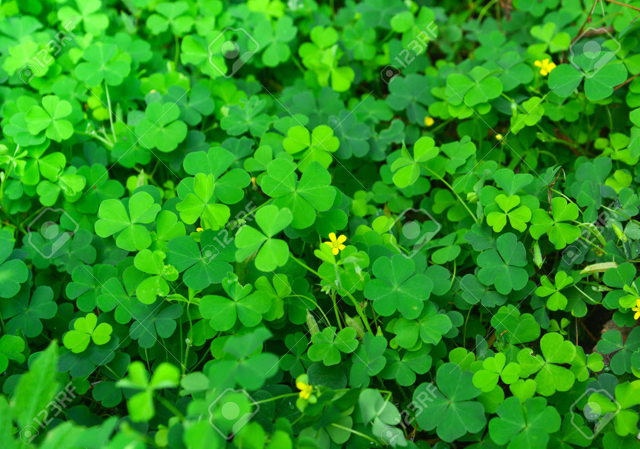Green Clovers Leaf With Little Yellow Flower Selective Focus Stock