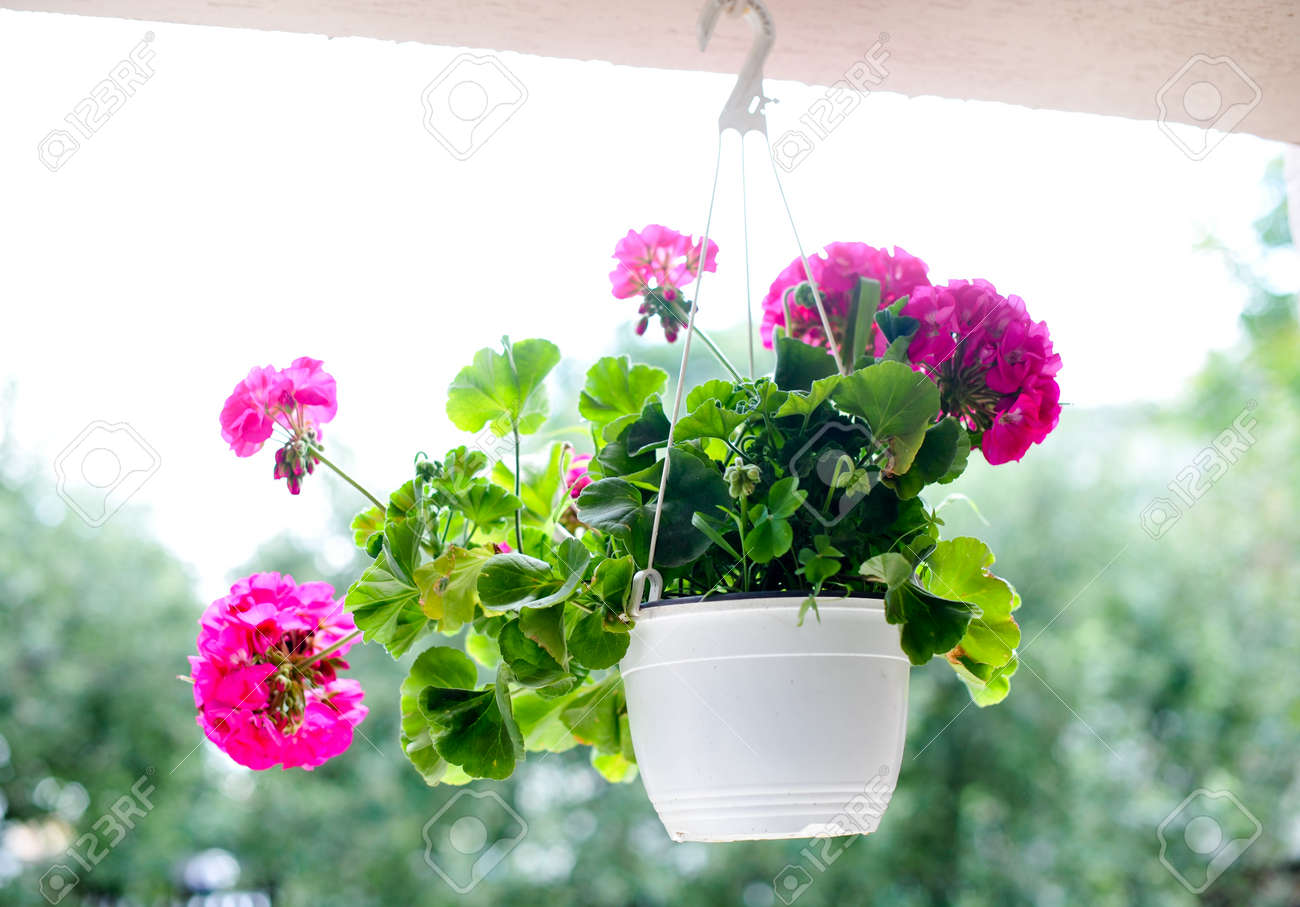 Outdoor flowerpot pink flowers in white hanging flower pot stock outdoor flowerpot pink flowers in white hanging flower pot stock photo 30060087 mightylinksfo