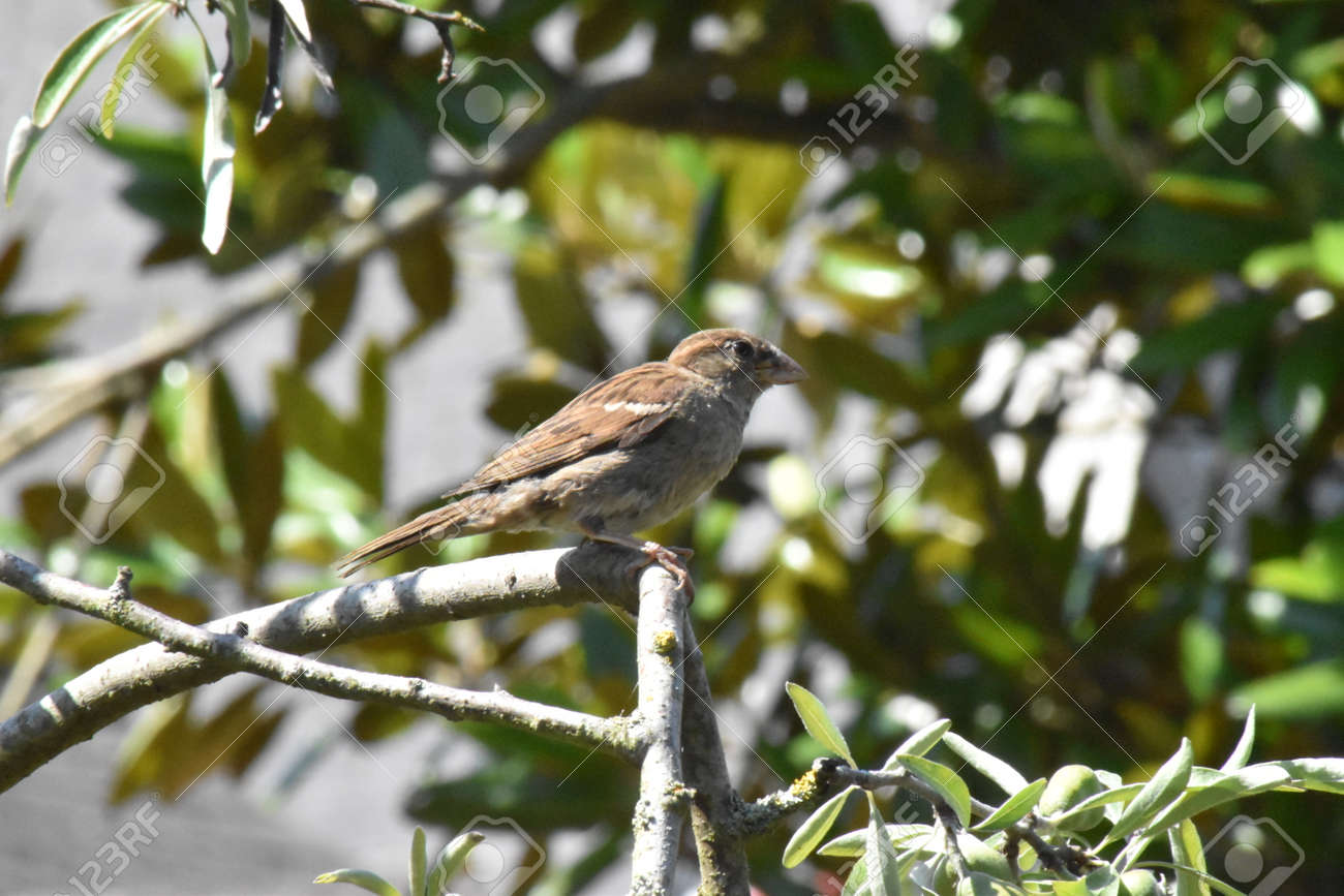 House sparrow female (Passer domesticus) perched in a tree Stock Photo - 83321702
