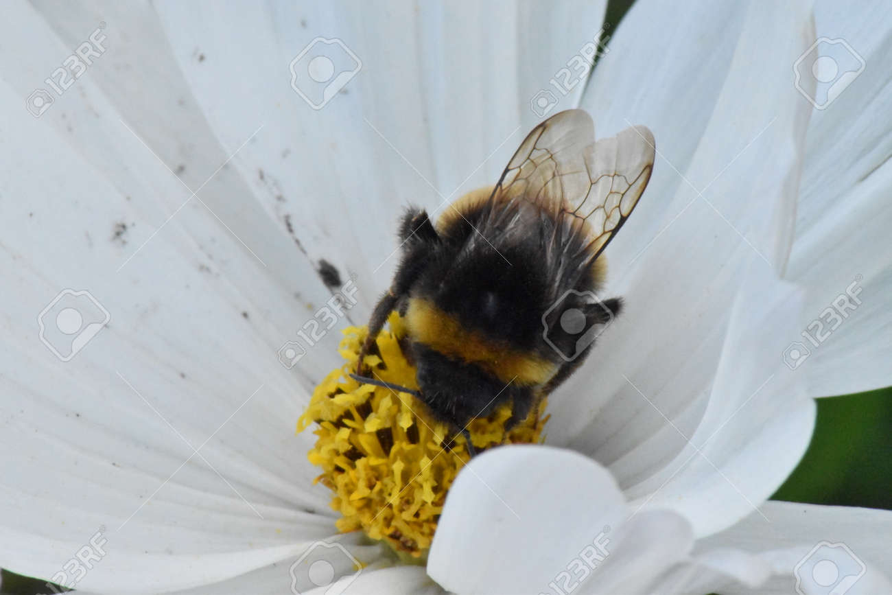 Buff tailed bumble bee (Bombus terrestris) Stock Photo - 84487357