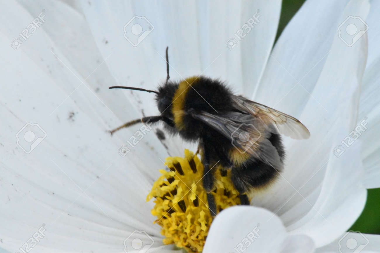 Buff tailed bumble bee (Bombus terrestris) Stock Photo - 84487356