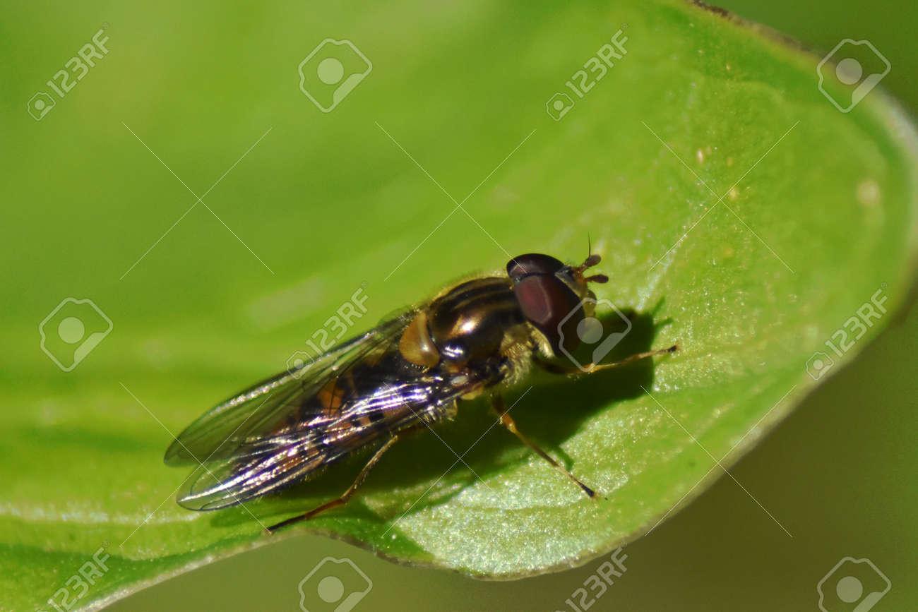 Hoverfly male (Epistrophe eligans) resting on a leaf Stock Photo - 84205370