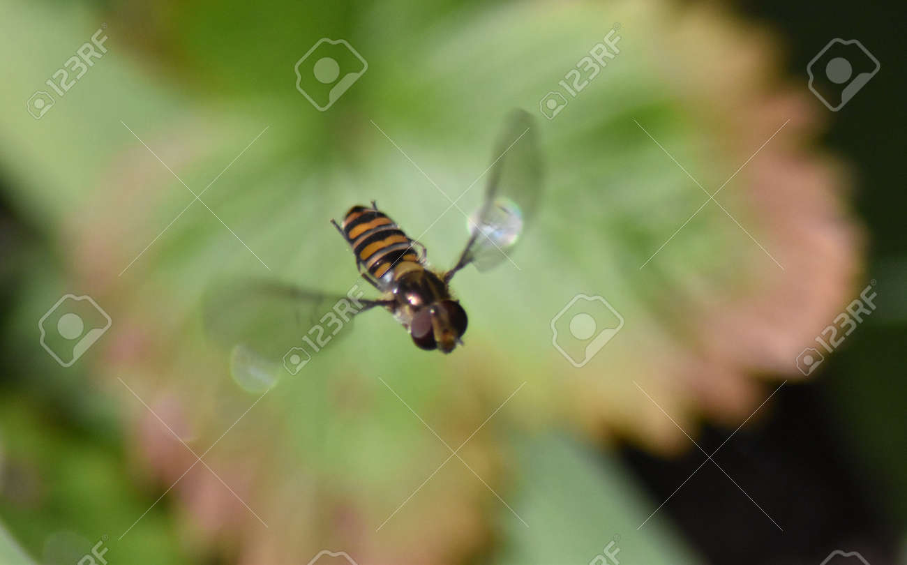 Hoverfly male (Epistrophe eligans) in flight Stock Photo - 84264381