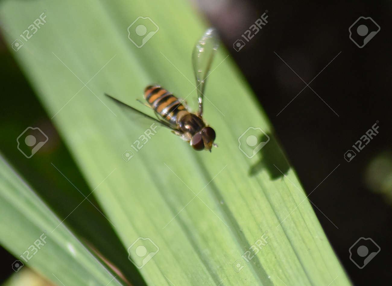 Hoverfly male (Epistrophe eligans) in flight Stock Photo - 84193235