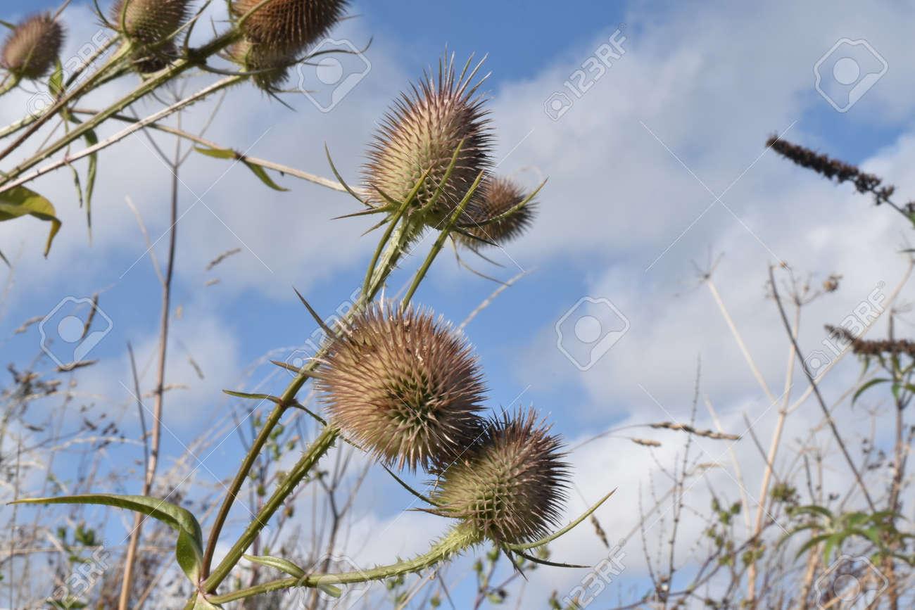 A spray of Teasel heads (Dipsacus fullonum) against a blue and white sky Stock Photo - 84926865