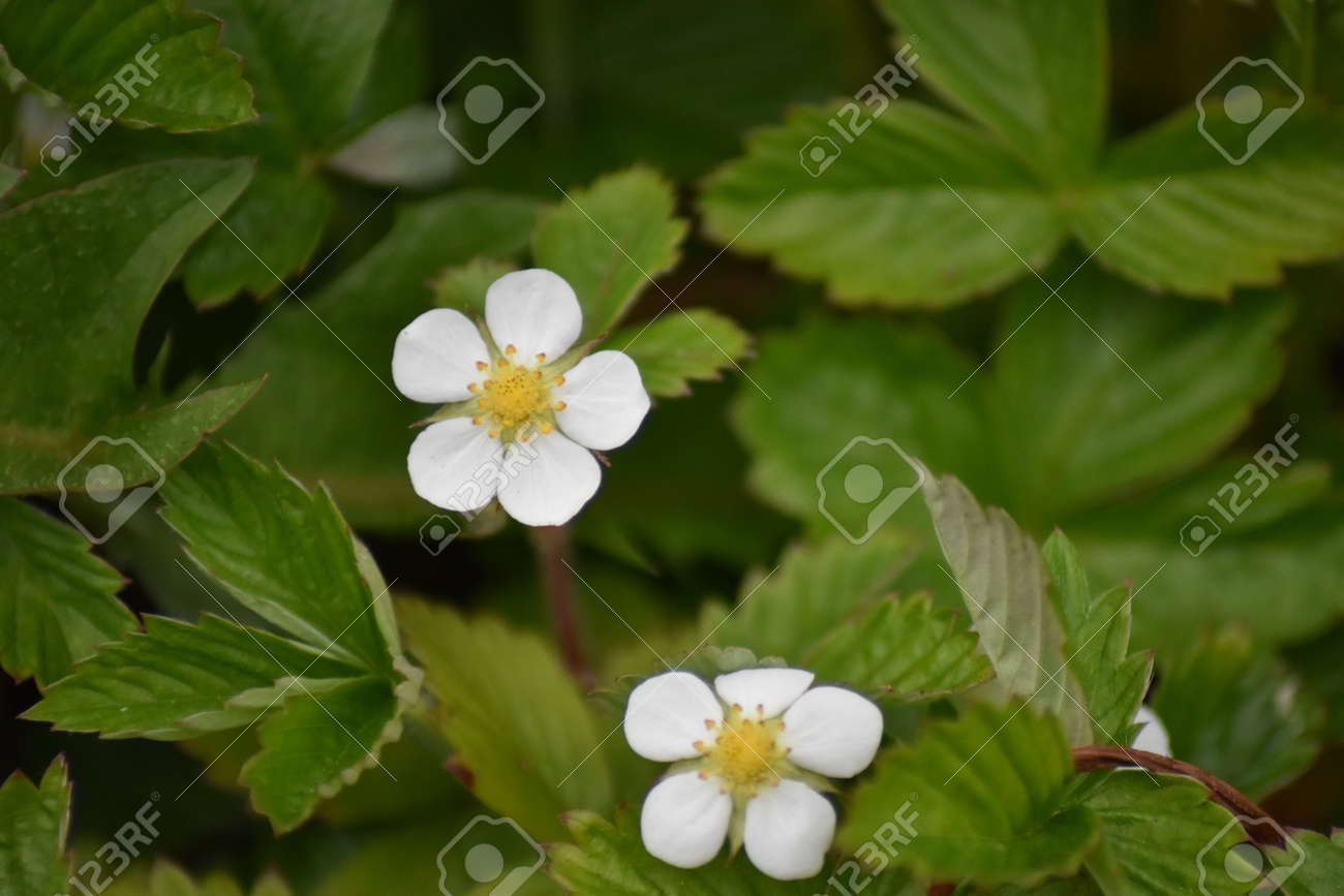 Close up of wild strawberry flowers (Fragaria vesca) Stock Photo - 84926866