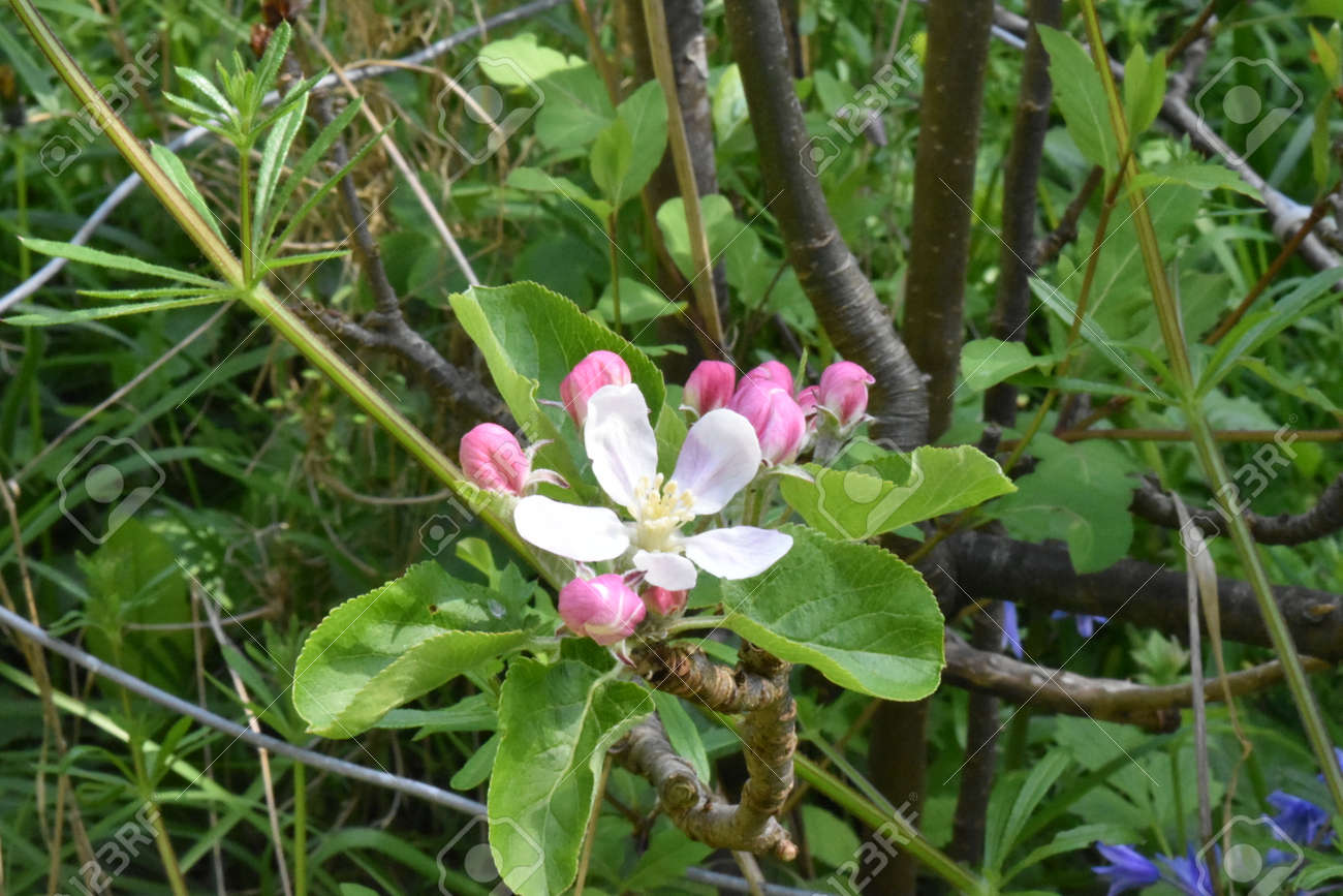Close up of apple blossom (Malus x domestica). One open flower and several buds Stock Photo - 85078186