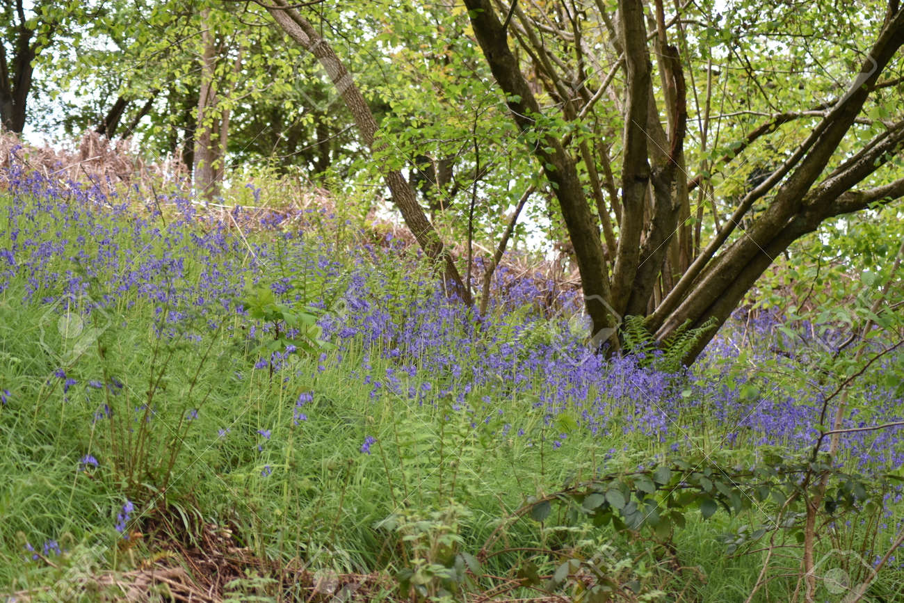 Bluebells  (Hyacinthoides non-scripta ) in open woodland with grass and bracken. Low angle shot. Stock Photo - 84926867