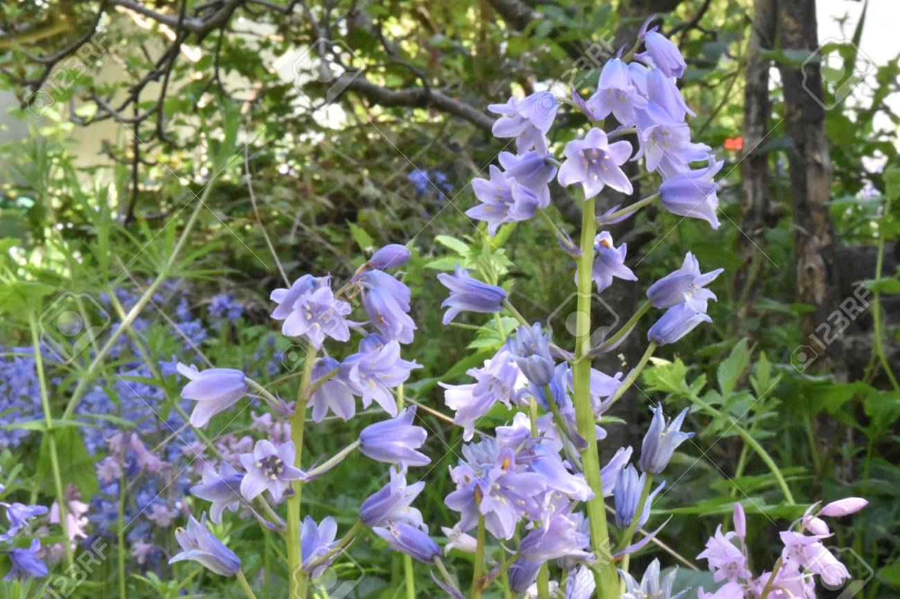 Close up of Bluebells (Hyacinthoides non-scripta ) Stock Photo - 84908335