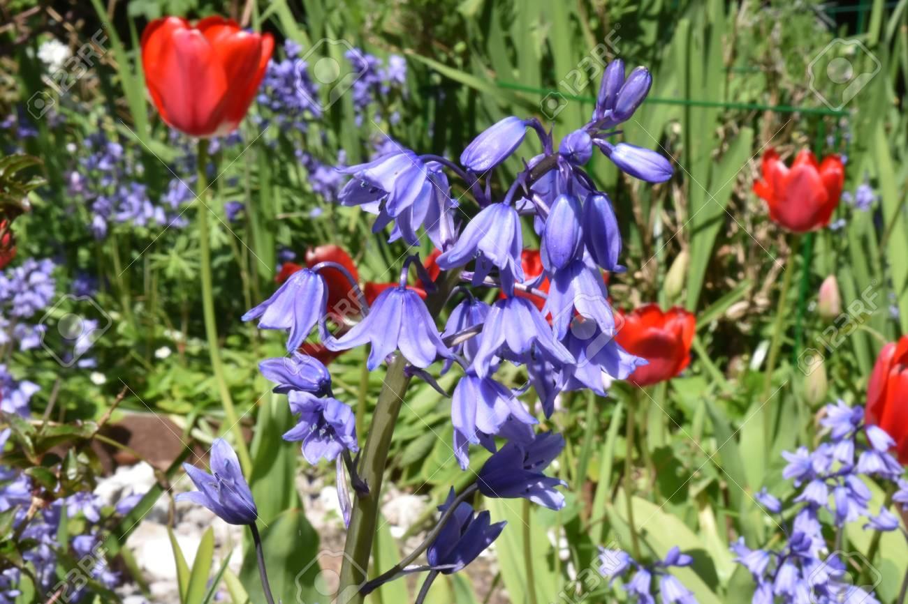 Close up of Bluebells (Hyacinthoides non-scripta ) Stock Photo - 84908334