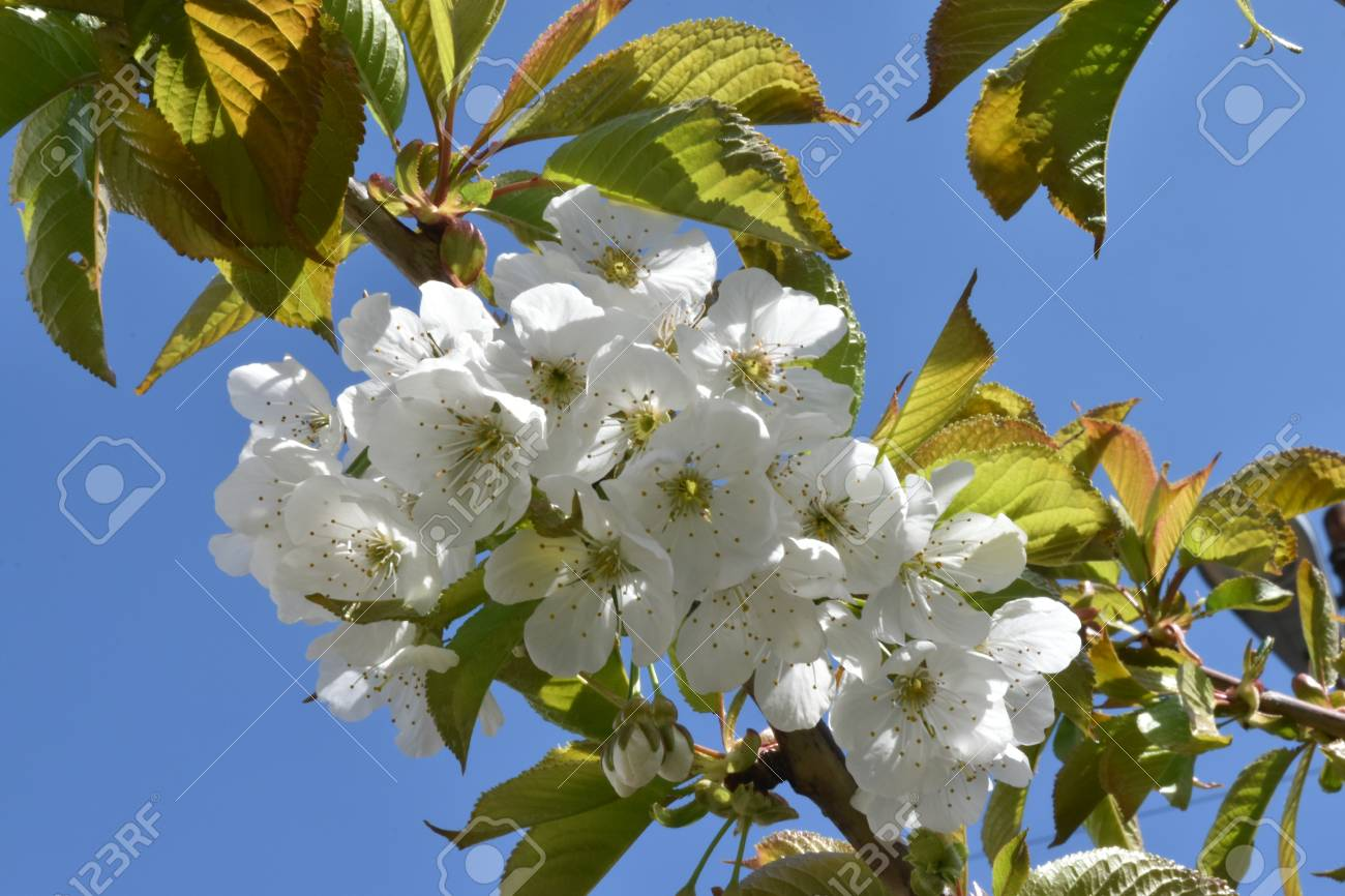 Close up of blossom and leaves of cherry tree (Prunus avium) against a bright blue sky Stock Photo - 84964604