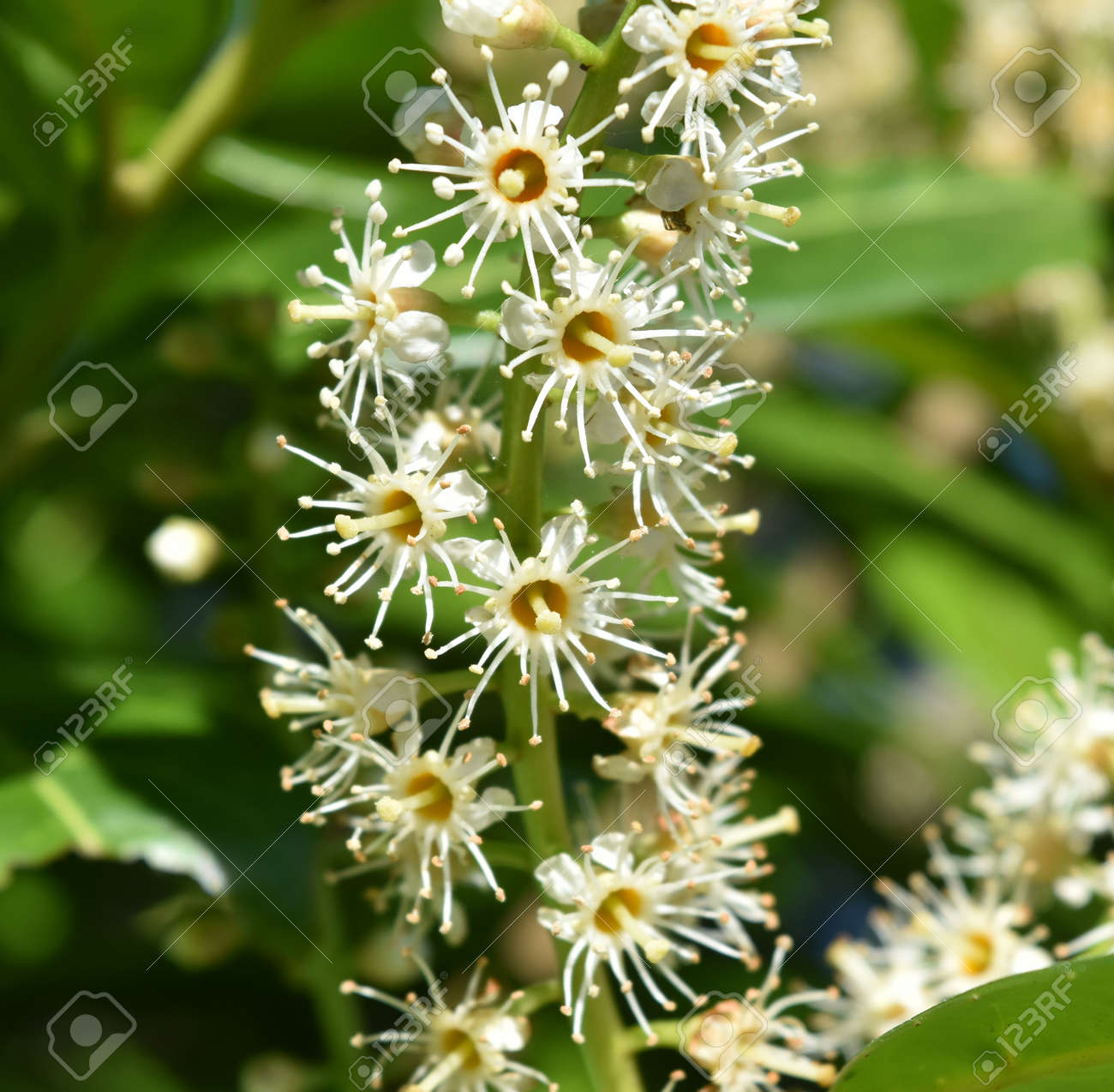 Close up of blossom of cherry laurel (Prunus laurocerasus) showing detail of flower structure. Stock Photo - 85078187