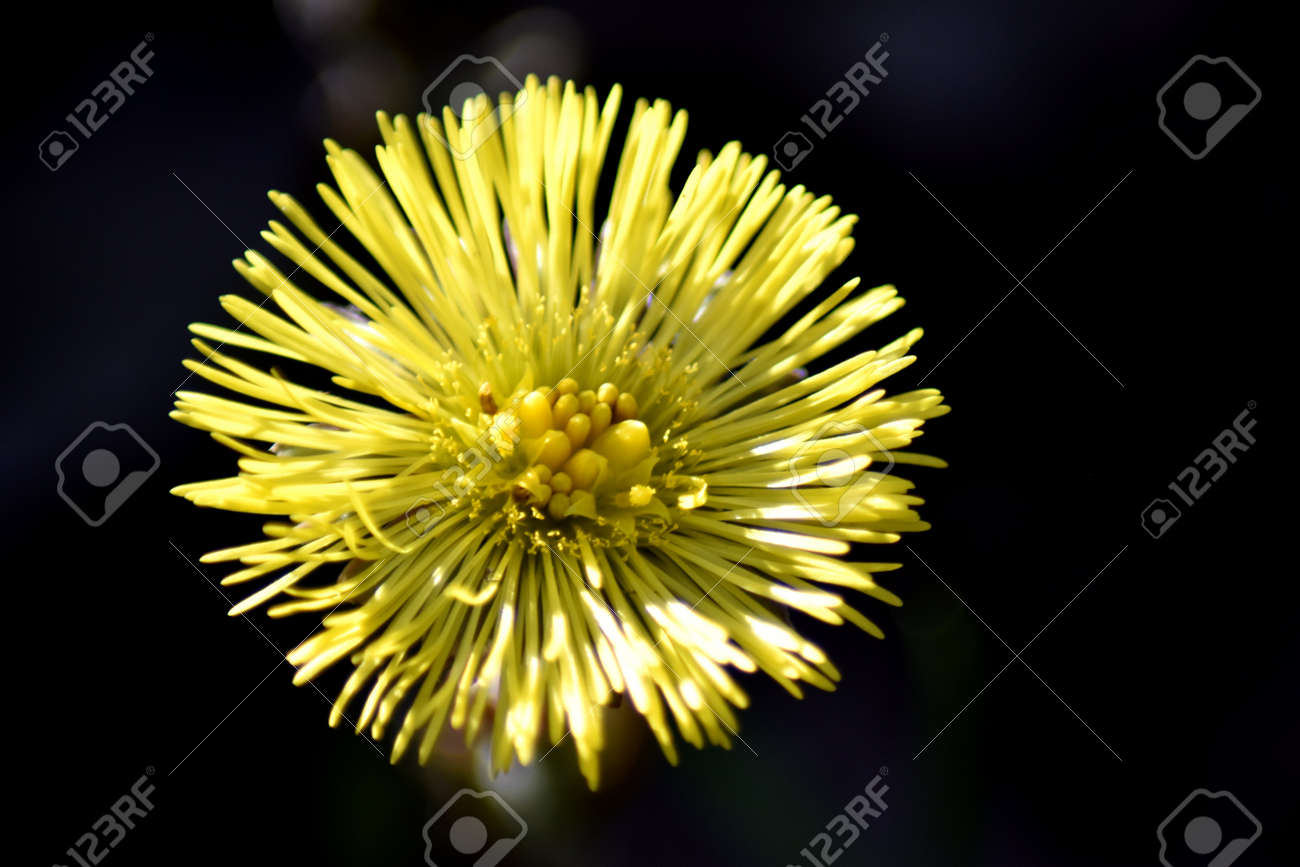 Close up of a single coltsfoot flower (Tussilago farfara) against a dark background. Stock Photo - 84908337