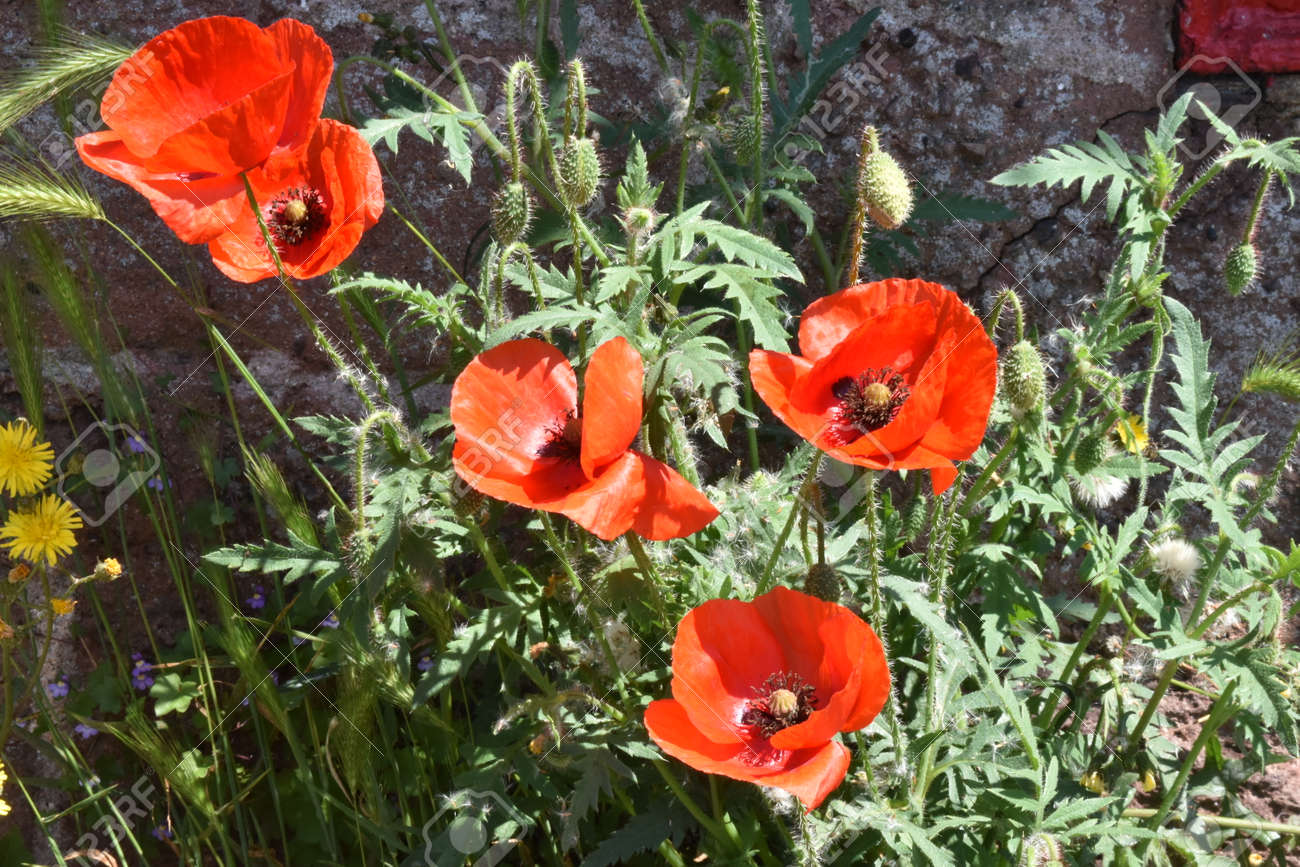 A group of flowers and buds of the Common Poppy (Papaver rhoeas) Stock Photo - 85078188