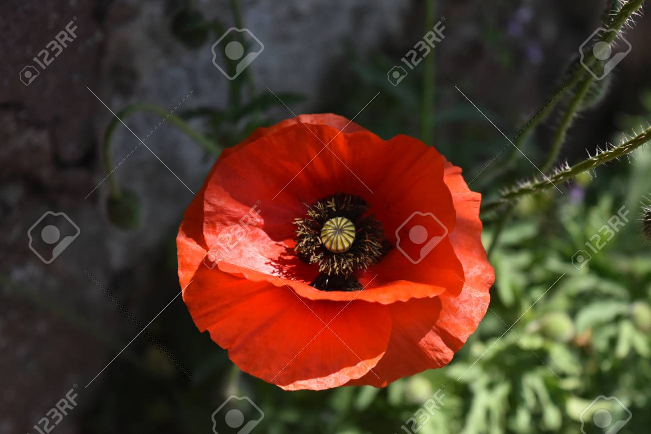 Close up of a single flower of the Common Poppy (Papaver rhoeas) Stock Photo - 84926869