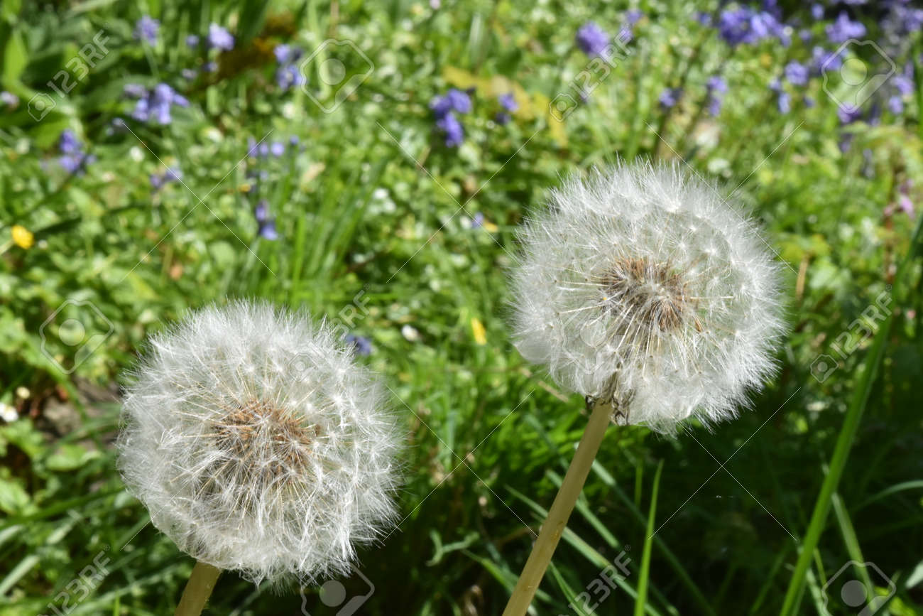 Close up of ripe Dandelion seed heads(Taraxacum officinale) Stock Photo - 85078189