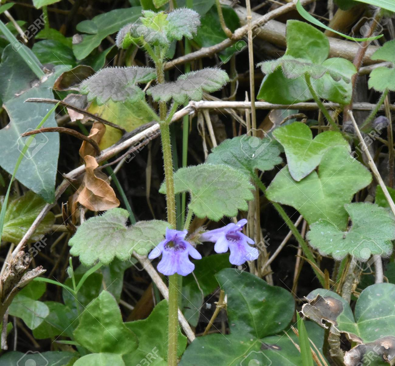 Close up of flowers, leaves and stem of Ground ivy (Glechoma hederacea) Stock Photo - 84908338