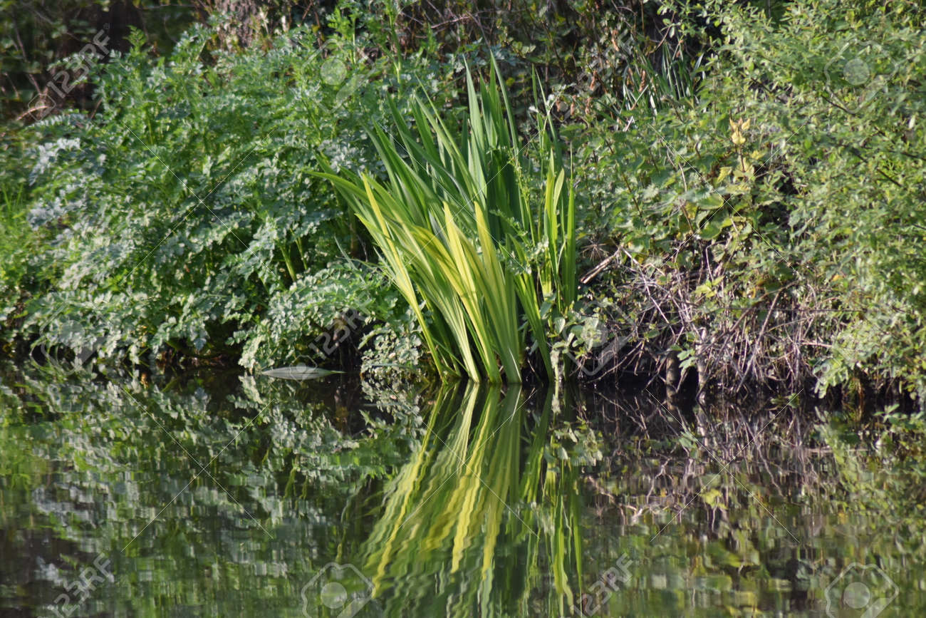 Hemlock water-dropwort (Oenanthe crocata), the most poisonous of all British plants, and iris leaves. Growing on a canal bank and reflected in still water to make a heart shape Stock Photo - 84908321