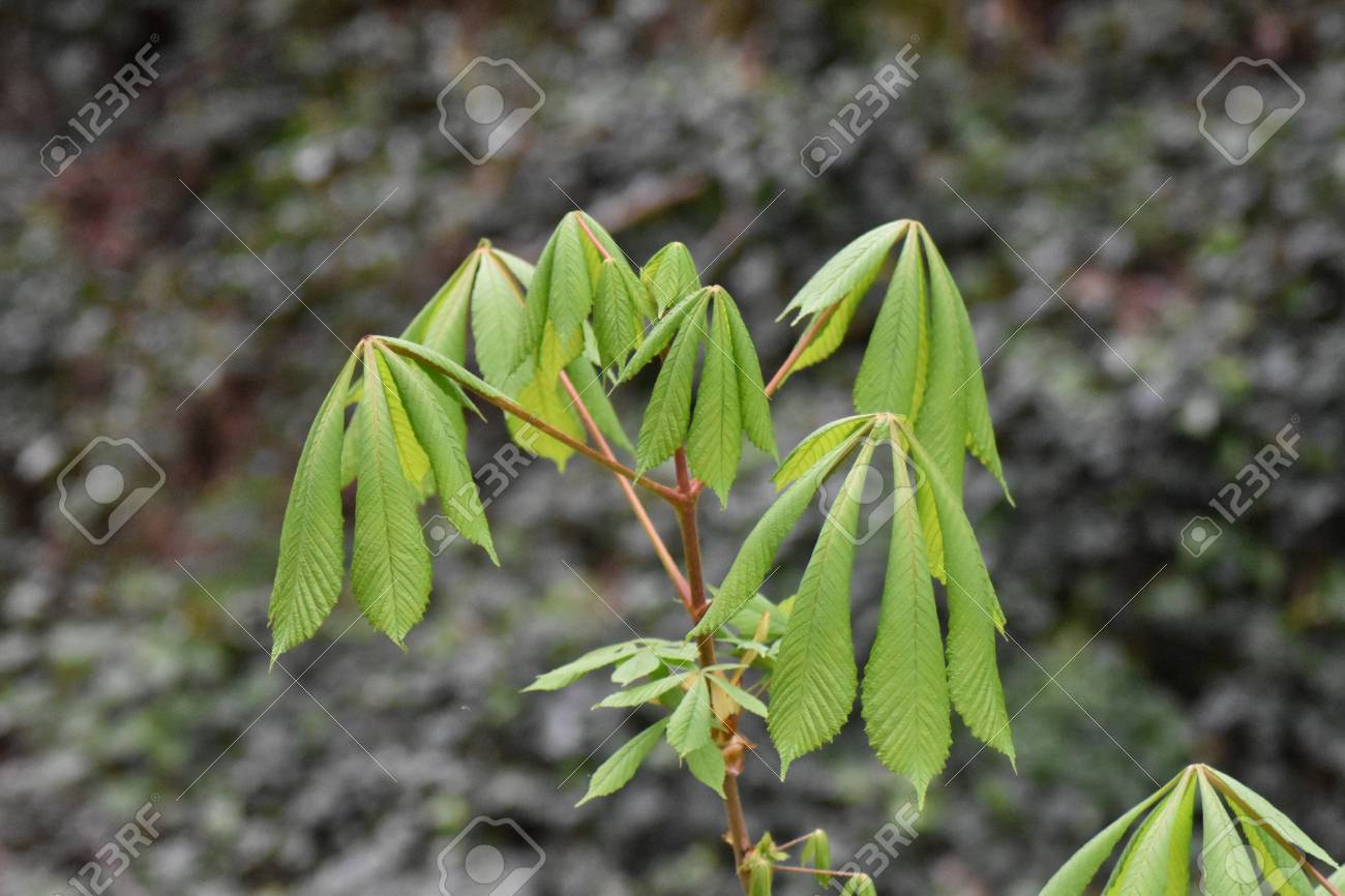 Close up of a horse chestnut sapling (Aesculus hippocastanum) showing it's first leaves of spring Stock Photo - 85078192