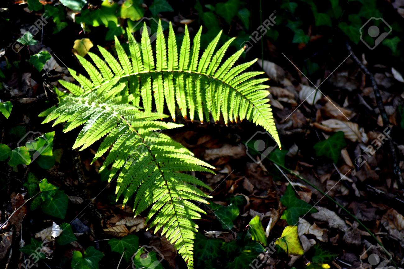 Fronds of lady fern (Athyrium filix-femina), lit by a patch of bright sunlight against a background of dark leaf litter. Stock Photo - 85078193