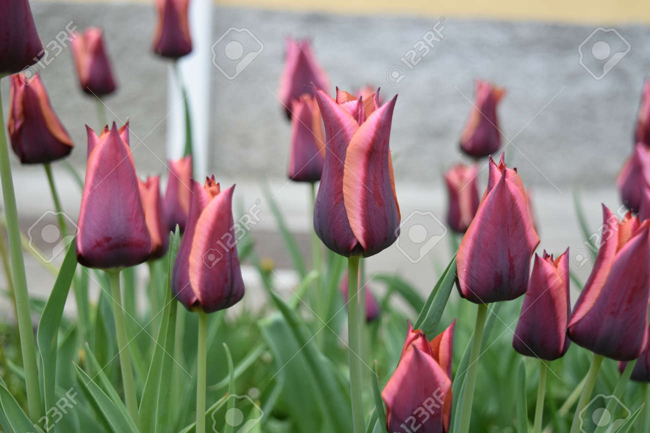 Close up of Lily flowered tulips Stock Photo - 84926873