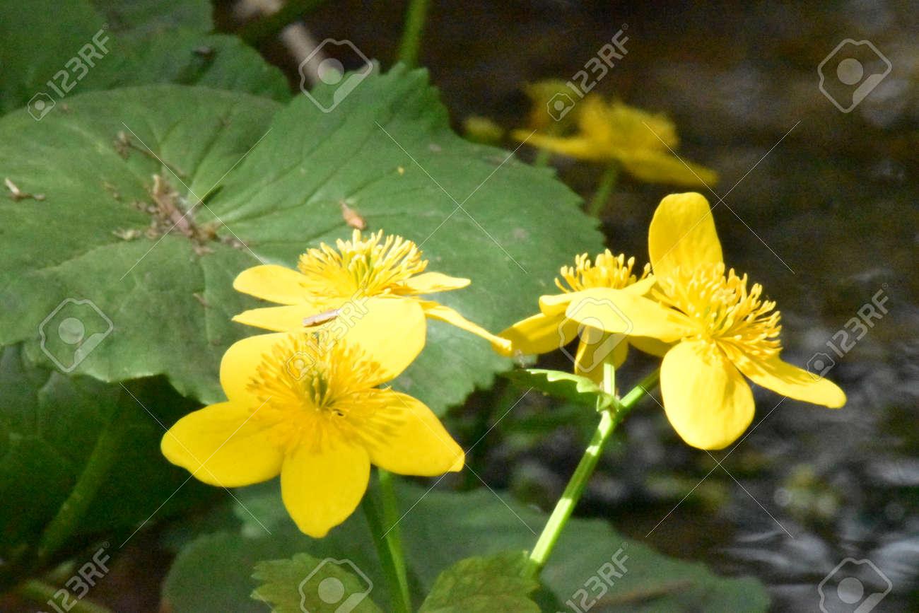 Marsh Marigold (Caltha Palustris) Stock Photo - 84908323