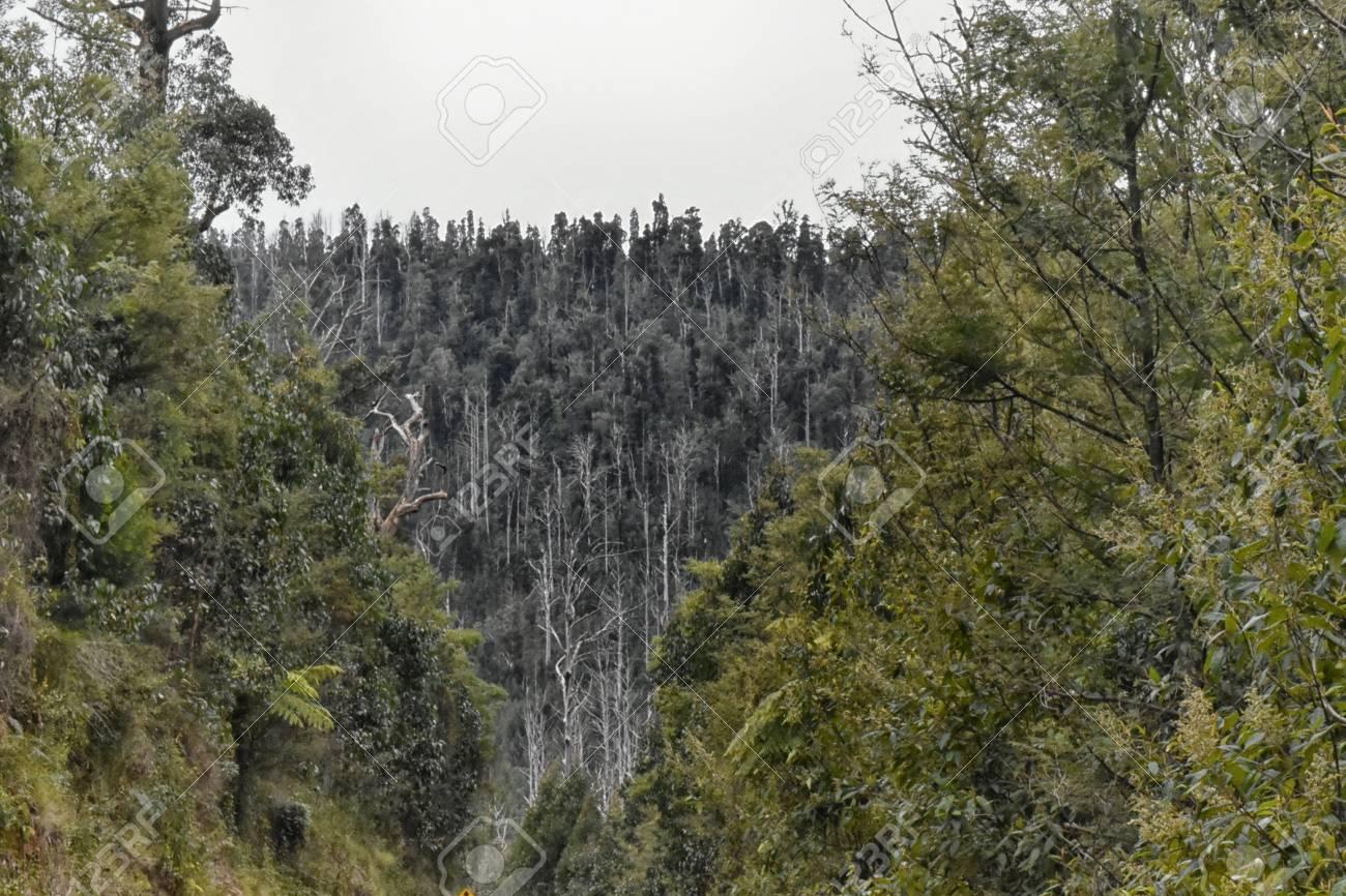 Marysville, Victoria, Australia. Burnt trees near Steavenson Falls after the 2009 bush fire. Stock Photo - 92952021