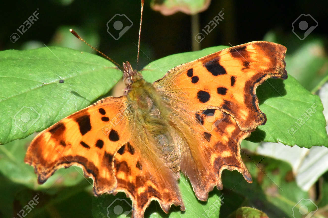 A Comma butterfly (Polygonia c-album)  wings spread, basking in summer sunshine. Stock Photo - 93155737