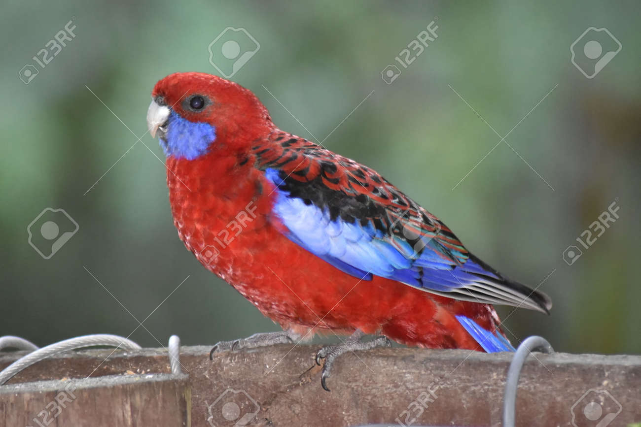 A Crimson Rosella (Platycercus elegans) perched on a fence, waiting for food Stock Photo - 93150300