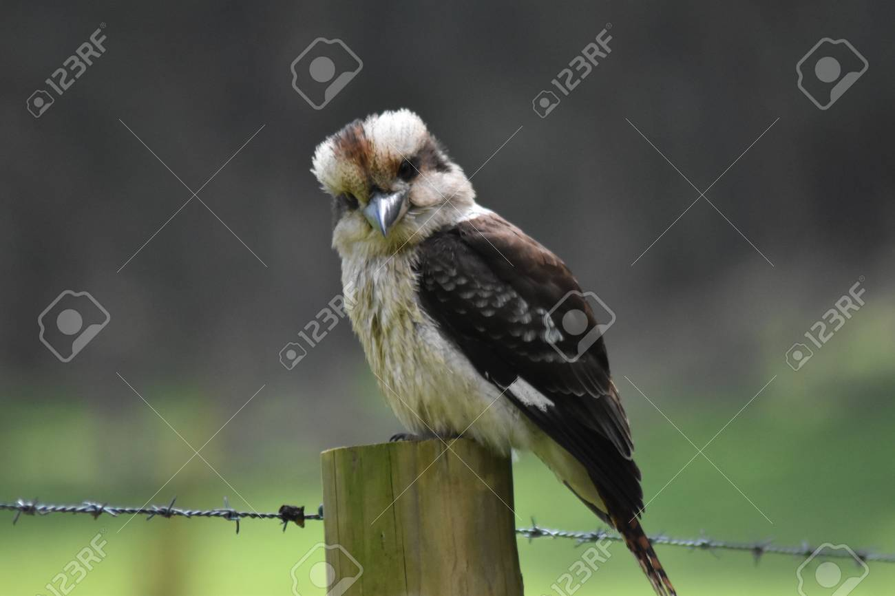 A Laughing Kookaburra (Dacelo novaeguineae) perched on a fence post and having a good look at the camera Stock Photo - 93232276