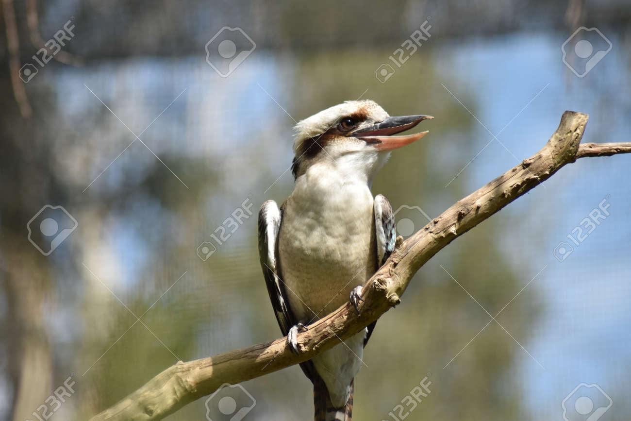 A Laughing Kookaburra (Dacelo novaeguineae) sunning itself on a dead branch Stock Photo - 93385292