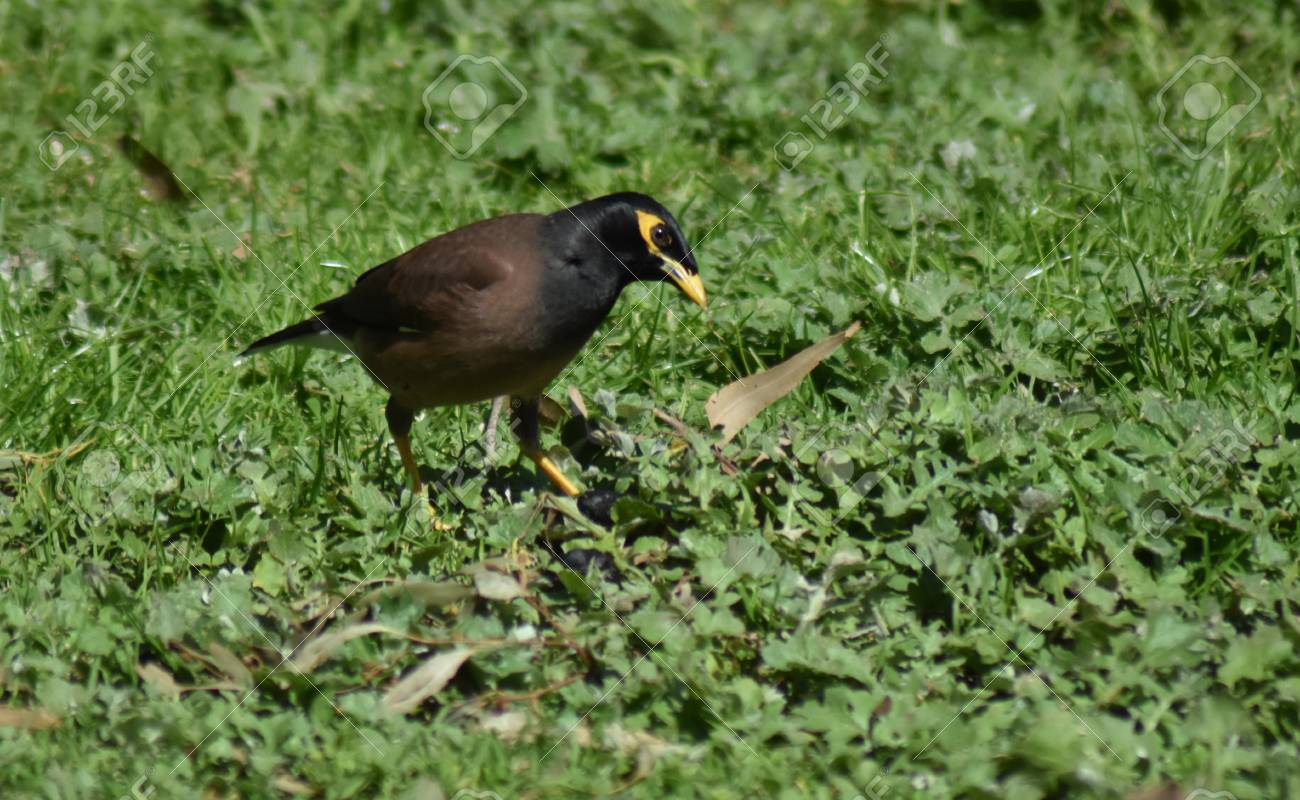 An Indian Myna (Acridotheres tristis) searching for food in the grass Stock Photo - 93139522
