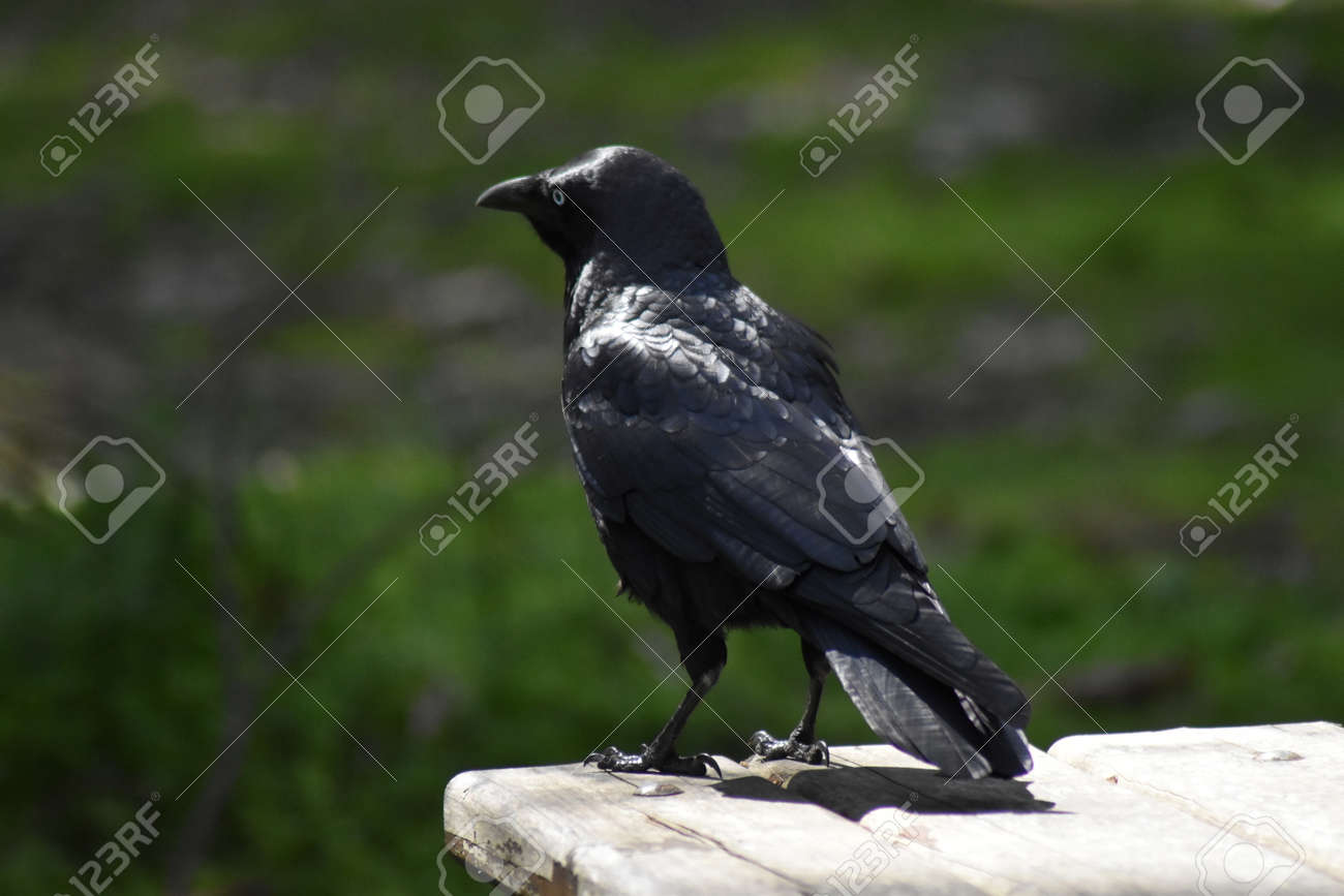 A Little Raven (Corvus mellori) perched on a picnic table Stock Photo - 93214792