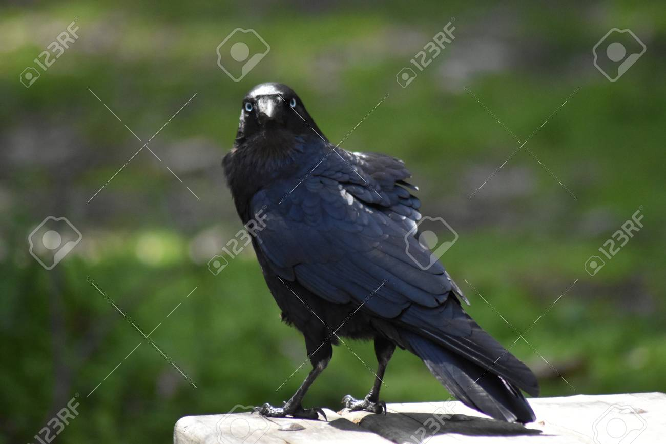 A Little Raven (Corvus mellori) perched on a picnic table, giving the camera an annoyed look Stock Photo - 93385293