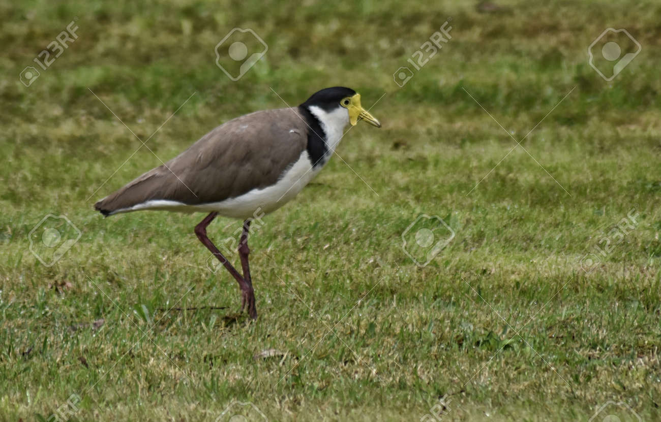 A Masked Plover (Vanellus miles) side view, walking across grass Stock Photo - 93139526