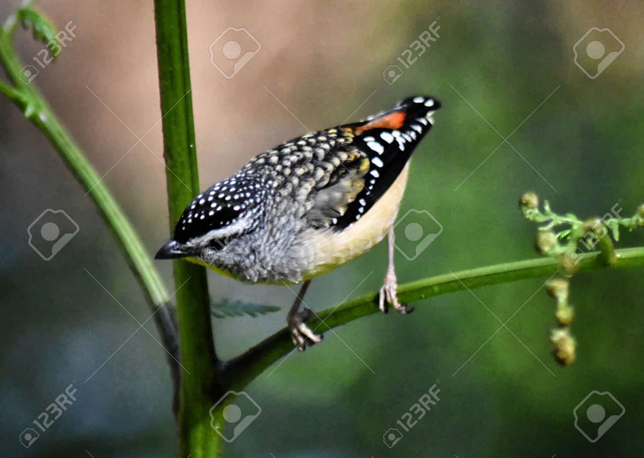 A close up of a Spotted Pardalote (Pardalotus punctatus) clinging to a fern stem Stock Photo - 93208329
