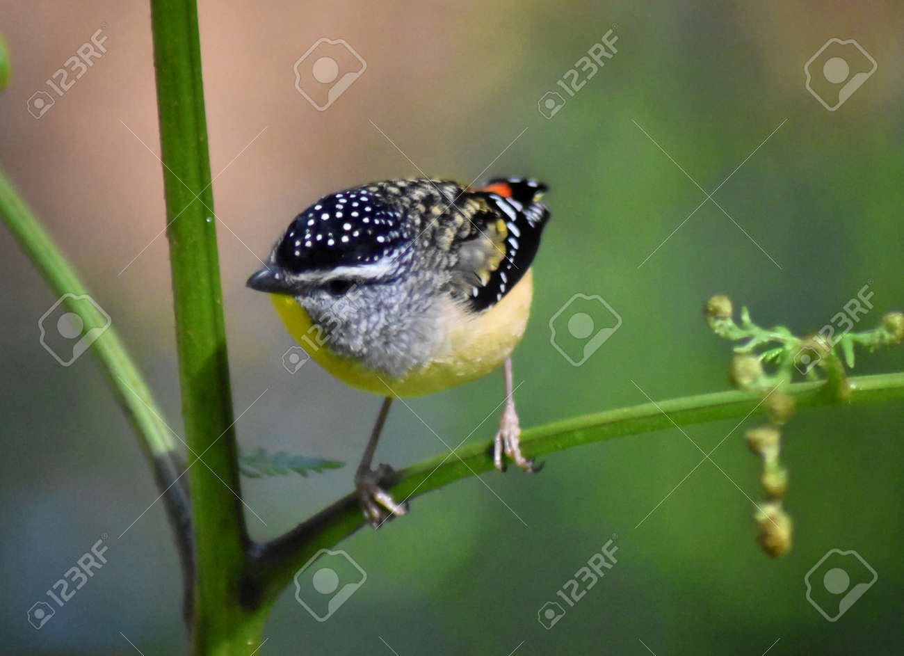 A close up of a Spotted Pardalote (Pardalotus punctatus) clinging to a fern stem Stock Photo - 93411975